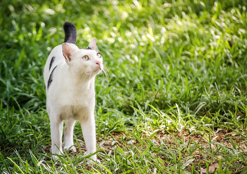 Lovely white cat with black dots walking on green grass in a garden. royalty free stock images