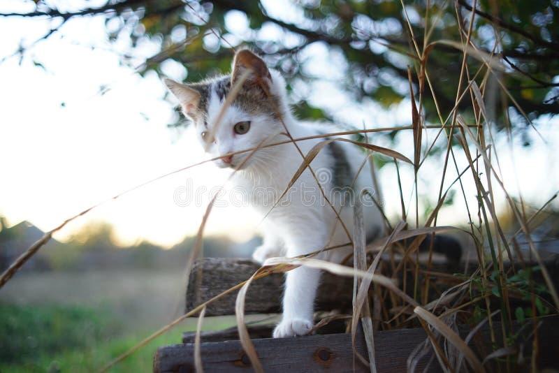 Lovely white kitten walk in the rural garden at sunset.  stock photos