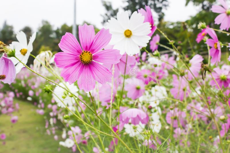 Lovely white and pink flower cosmos cover by rain drop in the fl royalty free stock photo