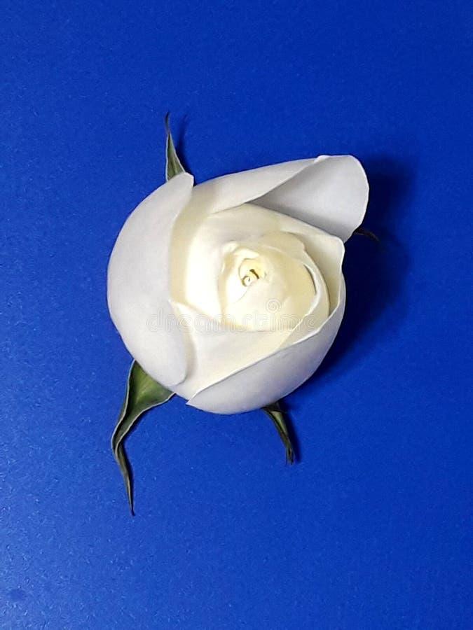Lovely white rose stock images
