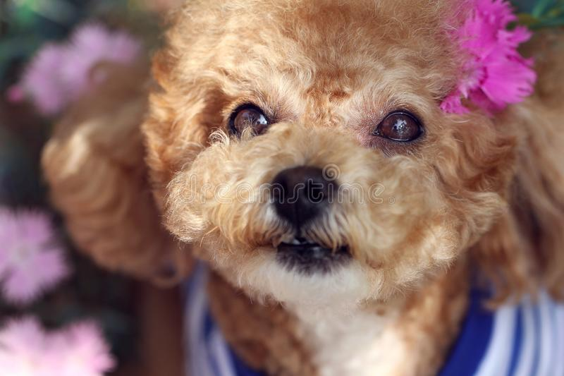 Lovely yellow poodle dog royalty free stock photos