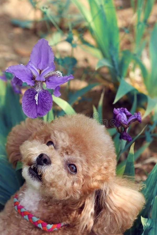 Lovely yellow poodle dog royalty free stock photography
