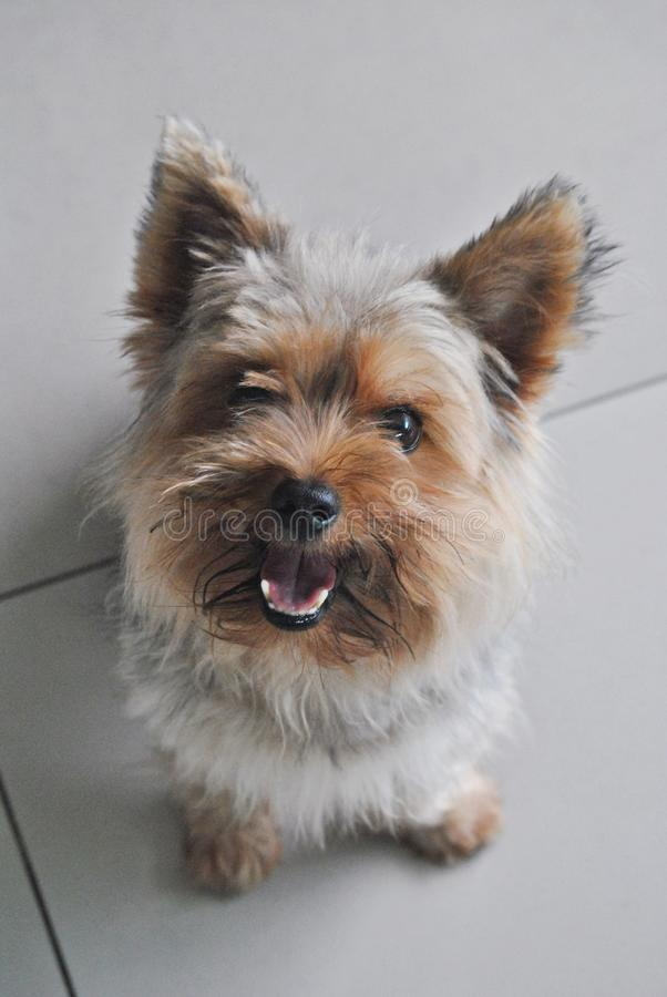 lovely Yorkshire terrier playful and happy royalty free stock photography