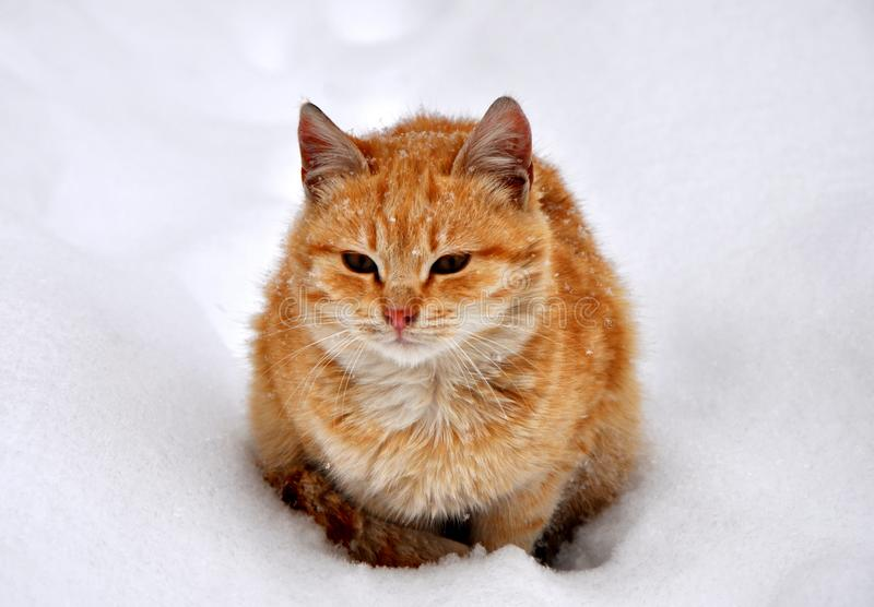 Lovely Young Beautiful Domestic Cat in snow stock photography. Cute Lovely Young Beautiful Domestic Cat in snow stock image