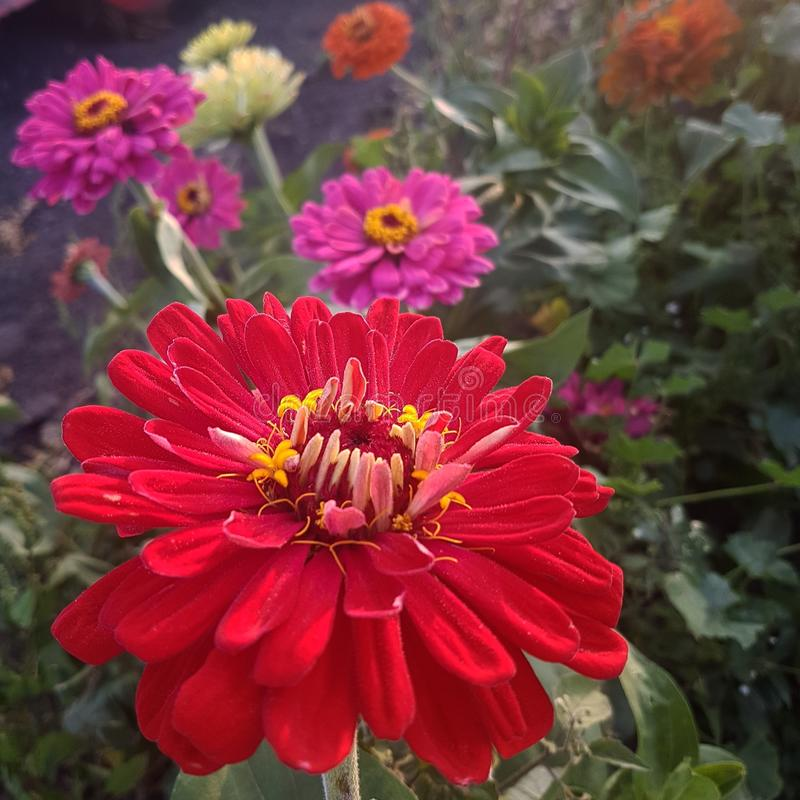 Lovely zinnia royalty free stock images