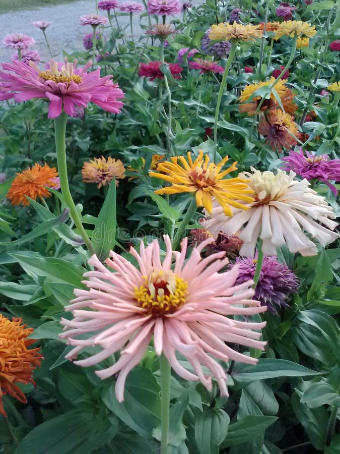 Lovely Zinnias. Flowers garden nature color beauty royalty free stock photo