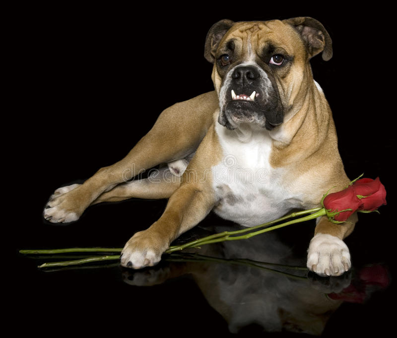 Lover bulldog with his roses. An English bulldog posing with roses and a reflection royalty free stock photo
