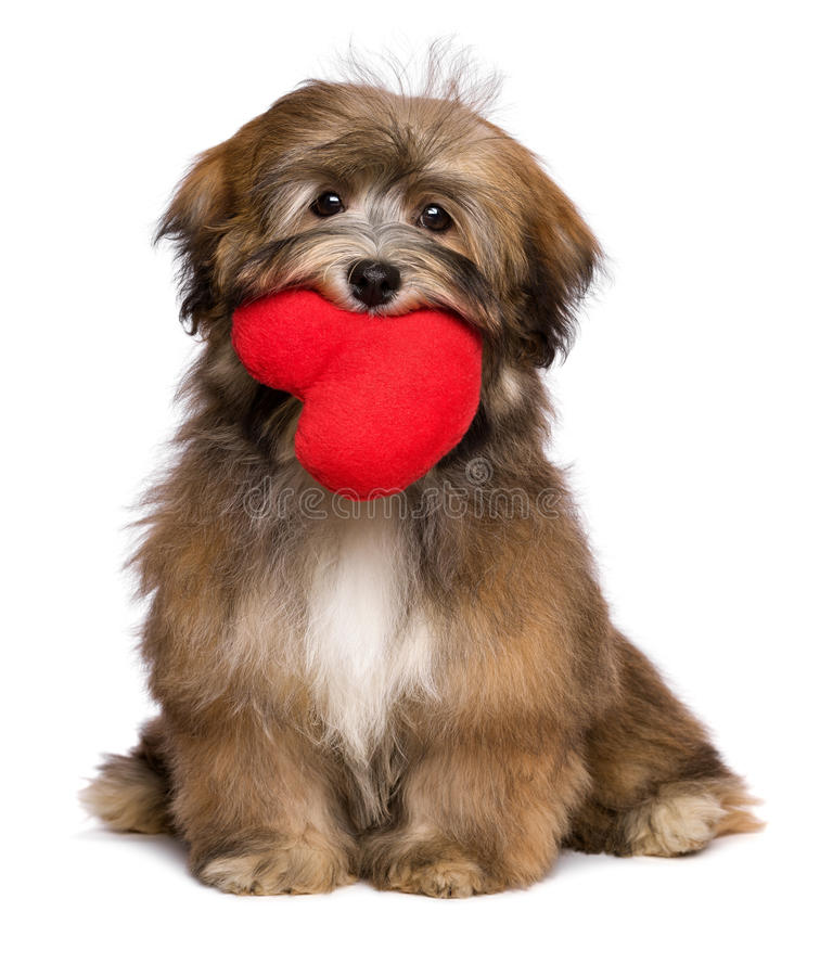 Lover havanese puppy dog is holding a red heart in her mouth. Beautiful lover valentine havanese puppy dog is holding a red heart in her mouth, isolated on white