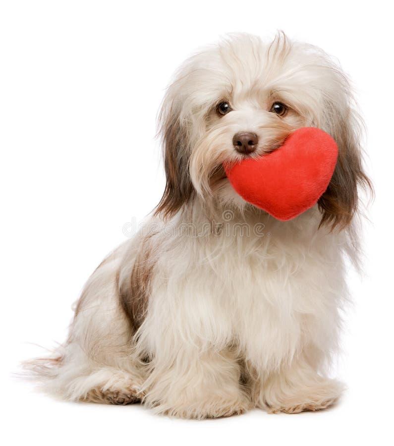 Lover Valentine chocolate Havanese royalty free stock image