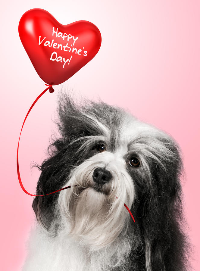 Lover Valentine Havanese royalty free stock photo
