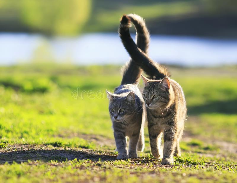 lovers couple striped cats walk together on green meadow in Sunny day lifting the tails stock photos