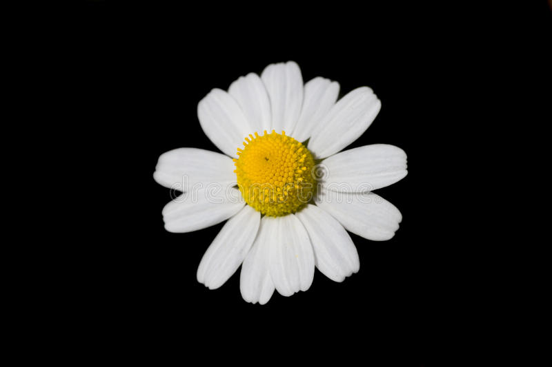 Loves me. daisy, on black background royalty free stock photos