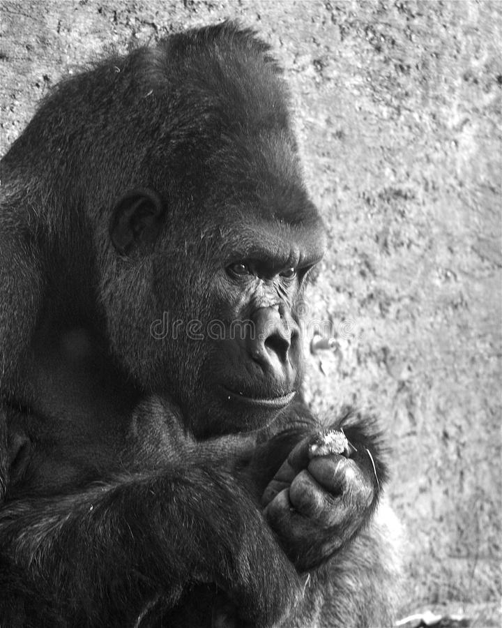 """Silverback Gorilla thinking... A Silverback gorilla lost in thought, and still holding onto a flower, after picking off the petals one-by-one. """"she Loves royalty free stock photography"""