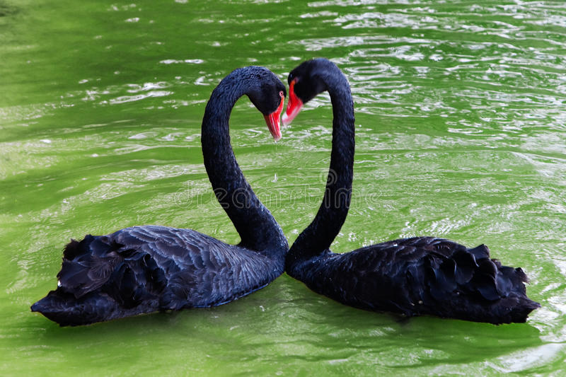 Loving black swans royalty free stock image