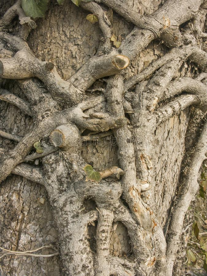 Ivy branches wrap around a deciduous tree royalty free stock image