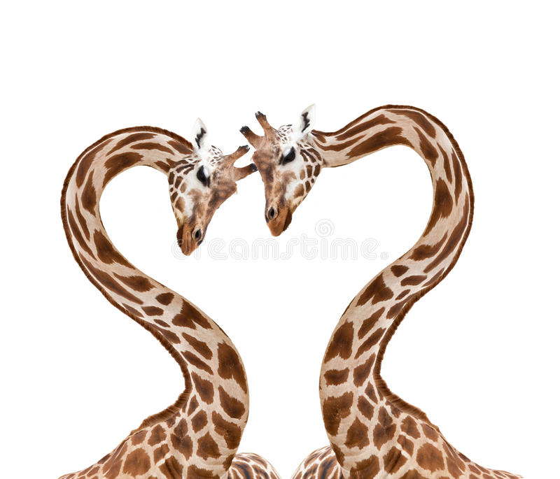 Download Loving giraffes stock photo. Image of bound, heart, nose - 25739860