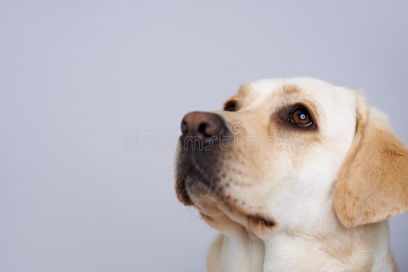 Loving Golden Labrador Stock Images