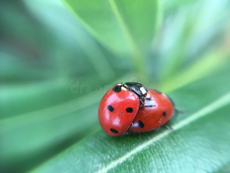 Loving Ladybugs royalty free stock photo