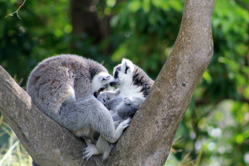 Loving lemur couple royalty free stock images