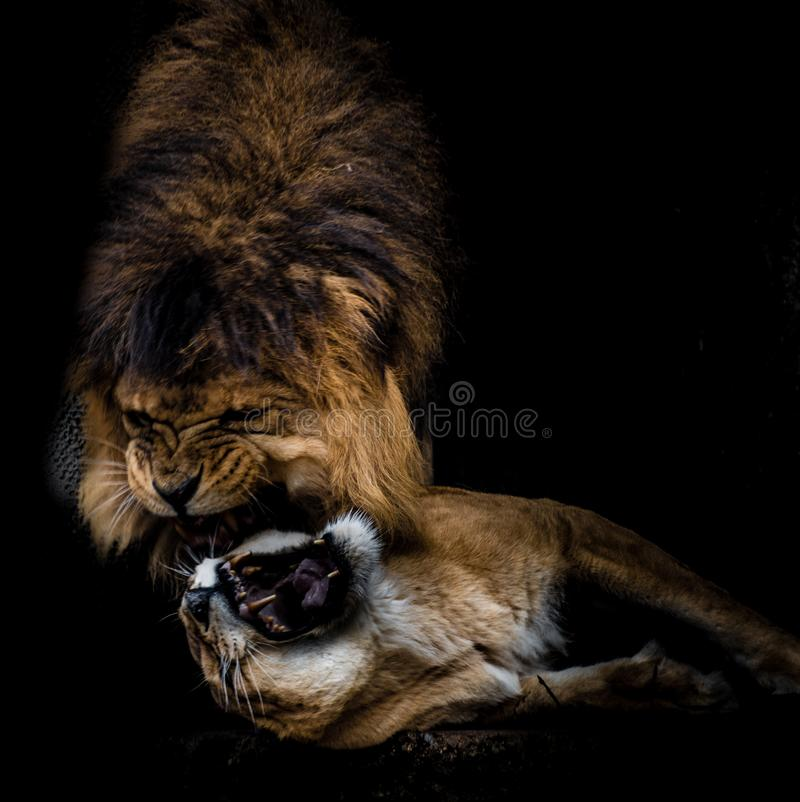 Free Loving Lions Biting Stock Photo - 157646170