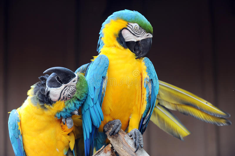 Loving Macaw. A blue and yellow Macaw parrot rubbing its head and wrapping its wing around another royalty free stock photos