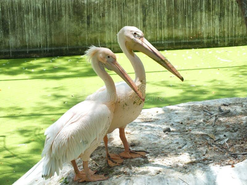 Loving pelican couples near pool stock image