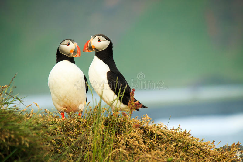 Loving Puffin stock image