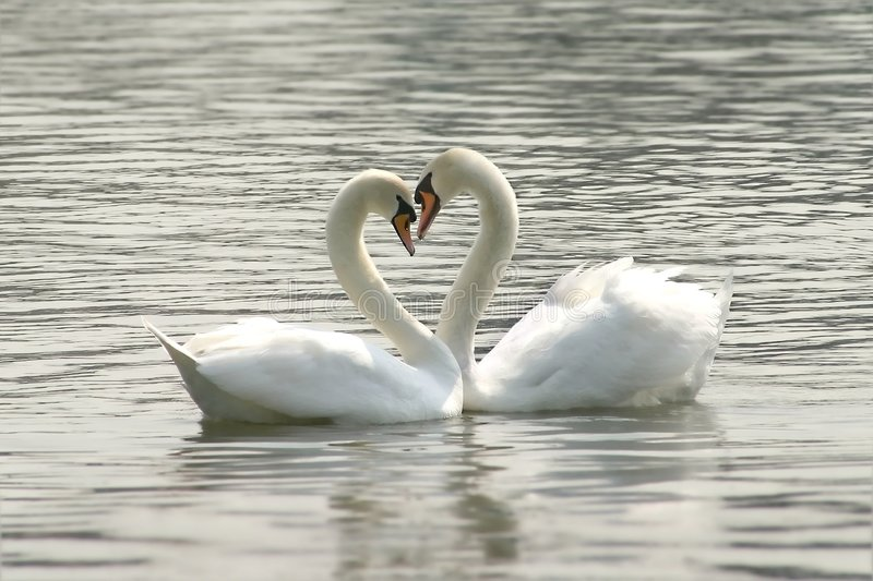 Loving swans. Forming a heart