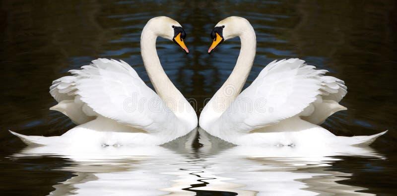 Loving swans stock photos