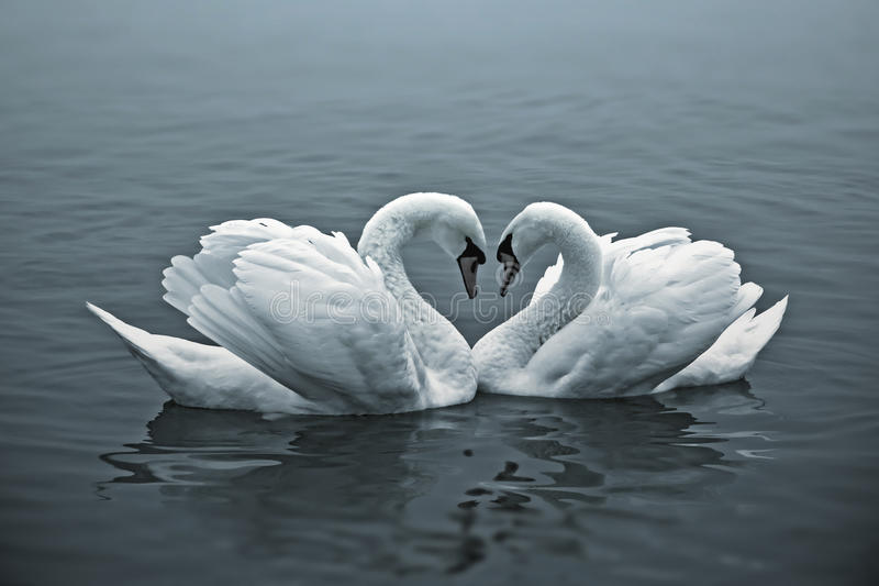 Download Loving Swans stock photo. Image of peaceful, calm, couple - 35692796