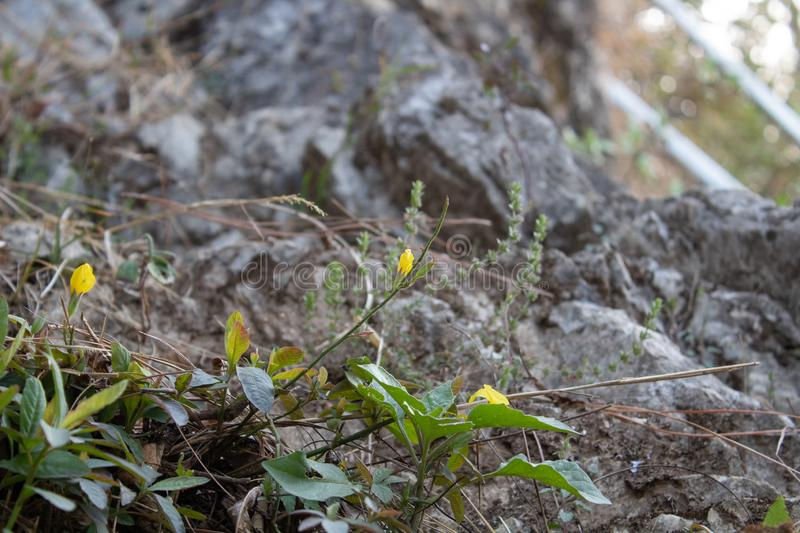 Low angle close up shot of beautiful wild yellow flowers with bright bokeh and blurred stone surface in background. Alive, background, beautiful, bokeh, bright royalty free stock photo