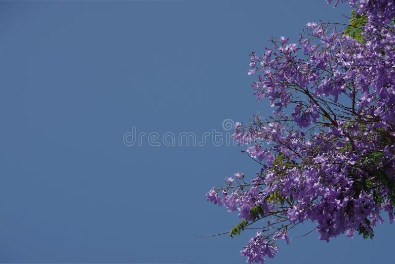Springtime Sky over a blooming Jacaranda Tree royalty free stock photography