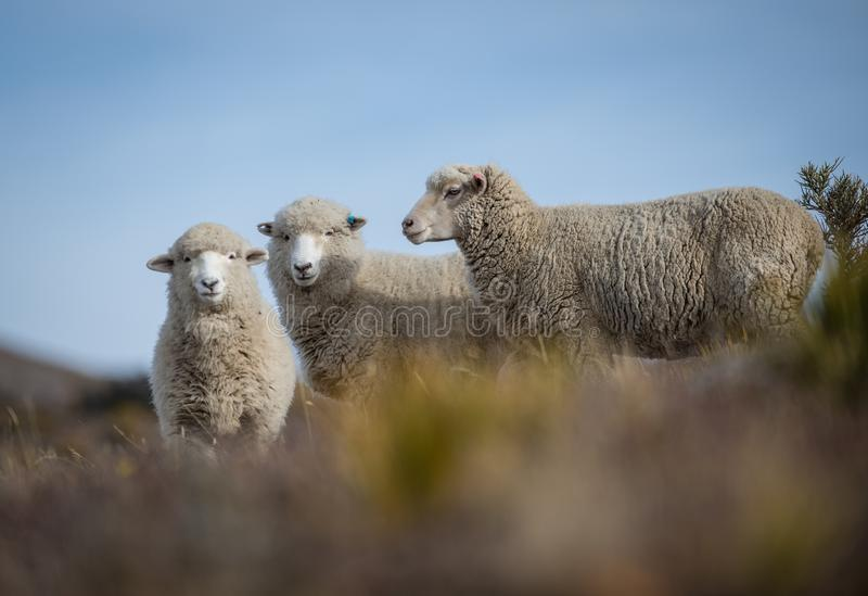 Low angle closeup shot of three beautiful Merino Sheep on a blurred background royalty free stock image