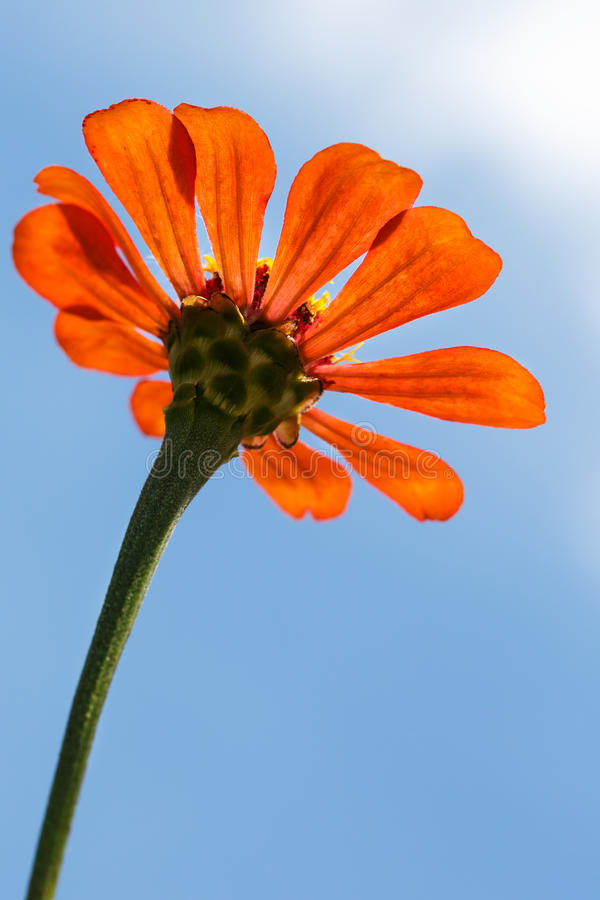 Download Low angle of orange flower stock image. Image of detail - 25815379