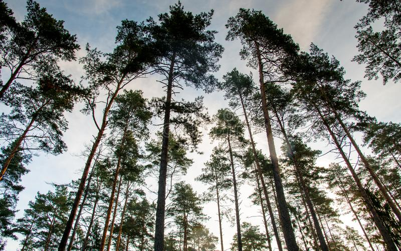 Low angle photo of pines stock photography