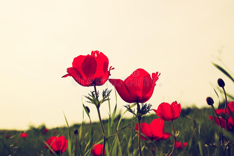 Low angle photo of red poppies against sky with light burst. vintage filtered and toned stock photos