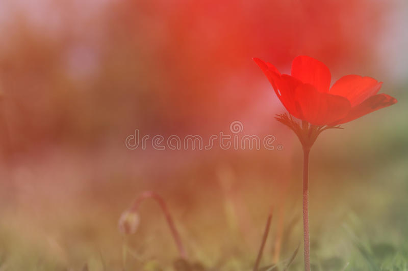 low angle photo of red poppy in the green field stock images
