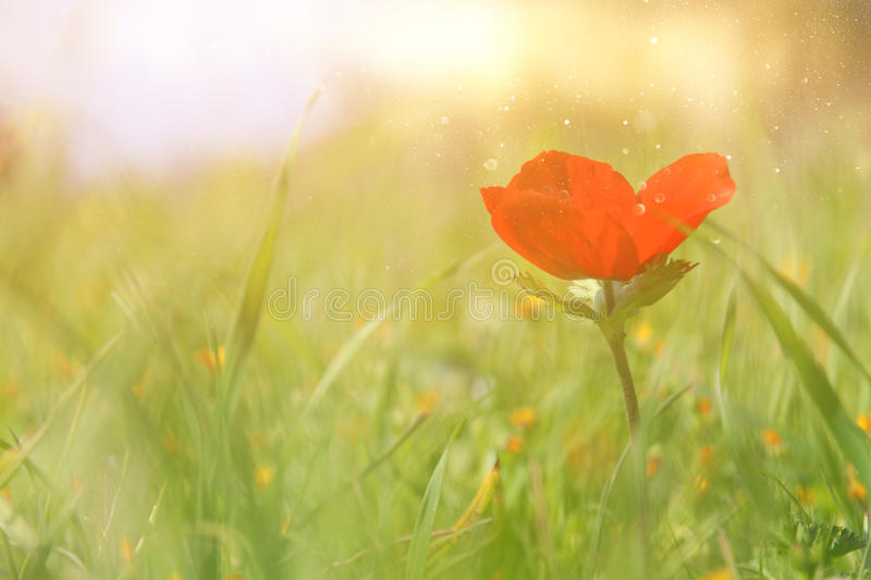 low angle photo of red poppy in the green field stock image