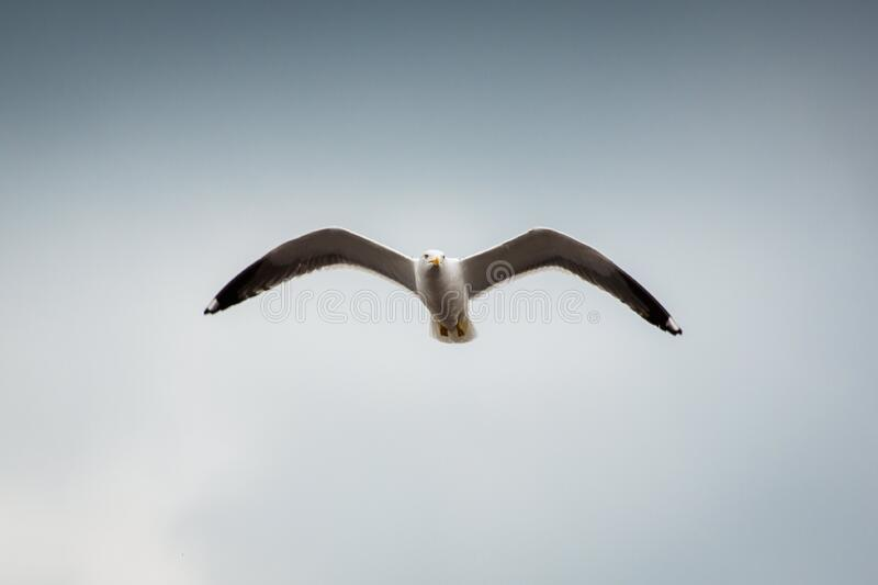 Low Angle Photography Of Seagull Flying Free Public Domain Cc0 Image