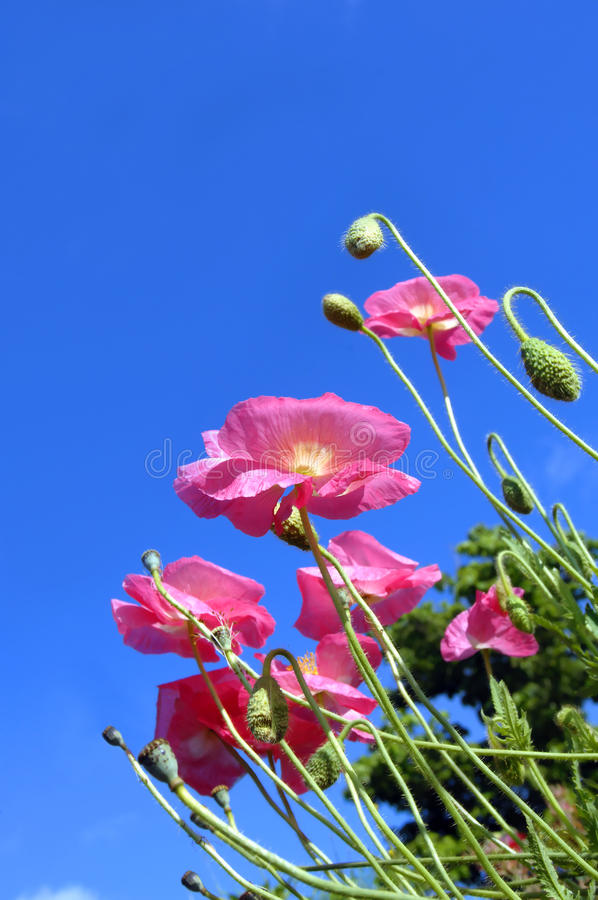 Low Angle Of Poppies Royalty Free Stock Image