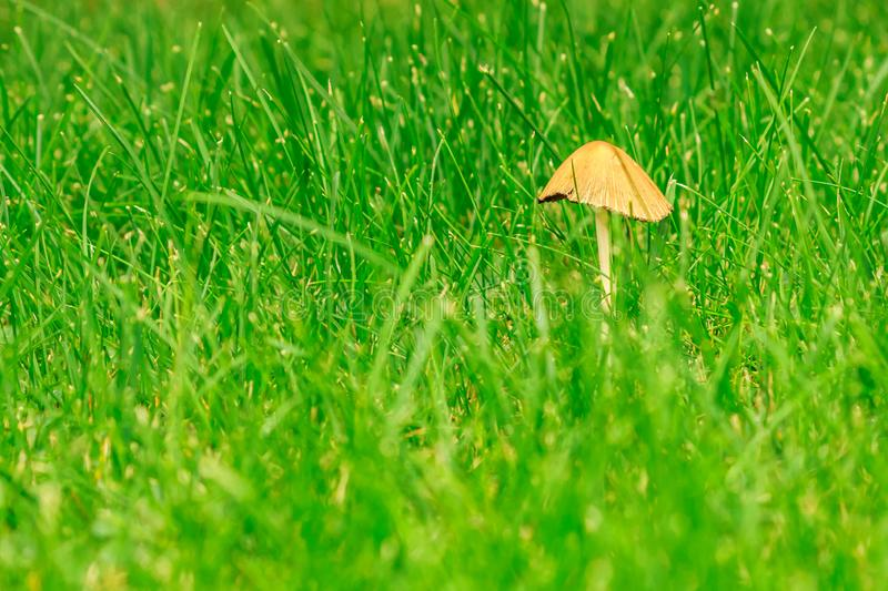 Tiny Mushroom in the green grass. Low angle shot of a tiny mushroom in the green grass royalty free stock photography