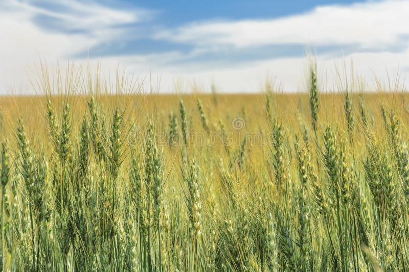 Wheat Field under mid day skyy. Low angle shot of Wheat growing in a field under a cloudy sky royalty free stock photo