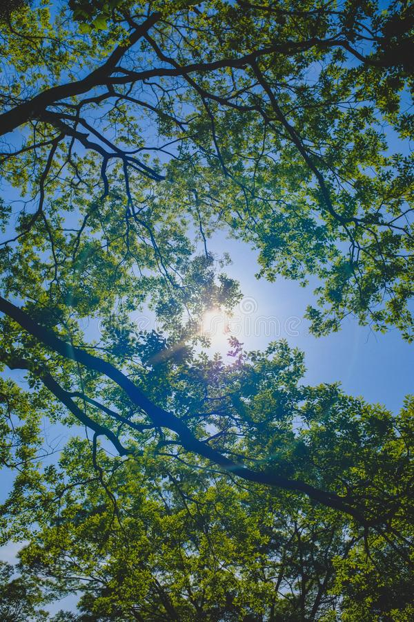 Low angle vertical shot of a green leaf tree branches with a clear sky in the background at daytime. A low angle vertical shot of a green leaf tree branches with royalty free stock photography