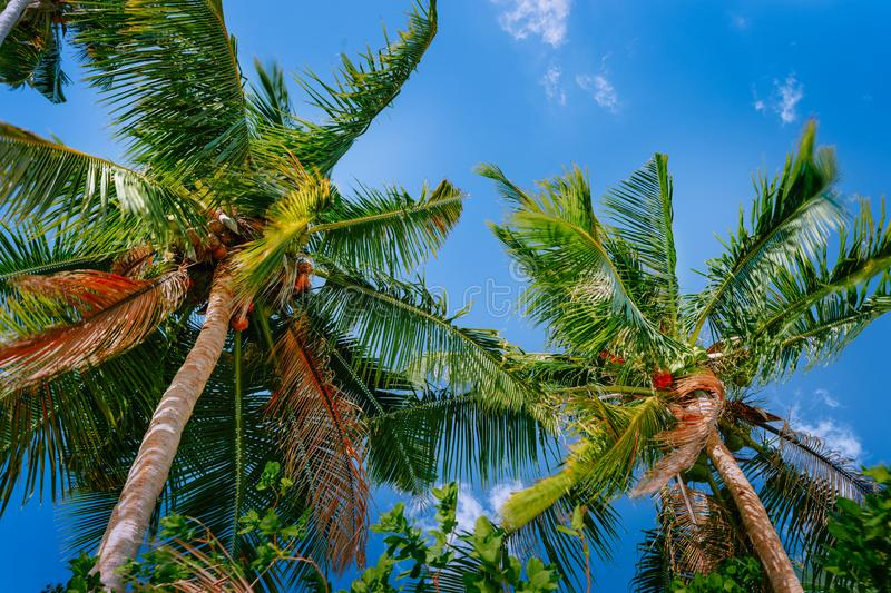 Low angle view coconut palm tree against blue sky royalty free stock photography