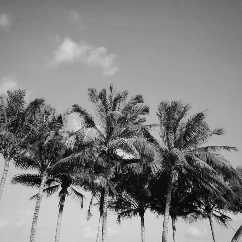 Low angle view of coconut palm trees against blue sky royalty free stock images