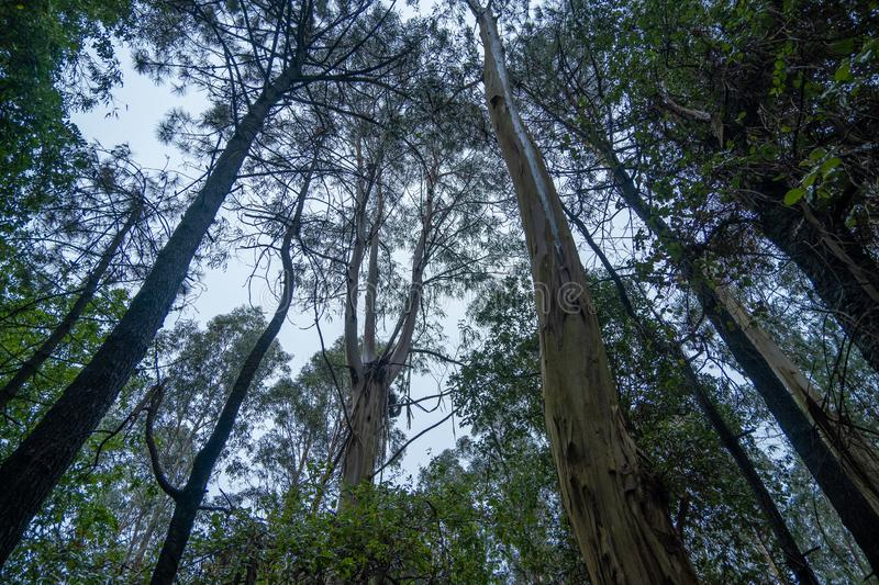 Low angle view in forest in Portugal, looking up beneath tall eucalyptus trees. Towards sky stock photography