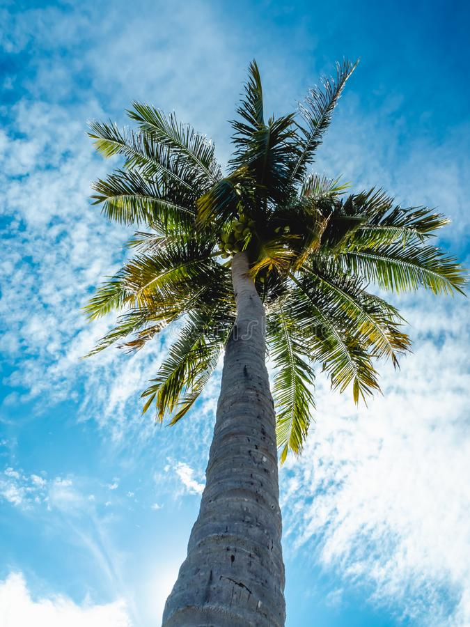 Low angle view of high coconut tree and the bright sunlight in the daytime. The sunray shining royalty free stock images