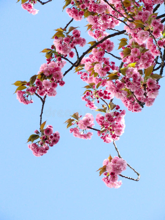 Low Angle View of Pink Flowers Against Blue Sky royalty free stock image