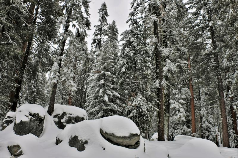 Low angle view of snow covered rocks and redwood trees in Sequoia National Park California. royalty free stock images