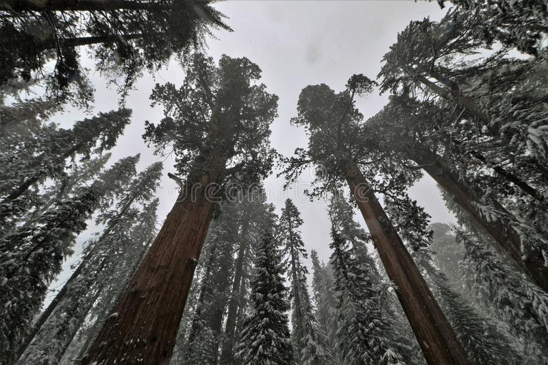 Low angle view of snow covered trees in Sequoia National Park California. stock images